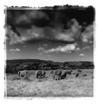 Mandria di elefanti in movimento #1