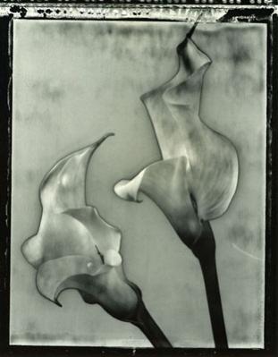 Calla Lilies #4